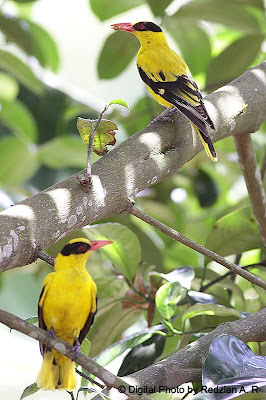 Oriole Pair waiting in vain for their chicks