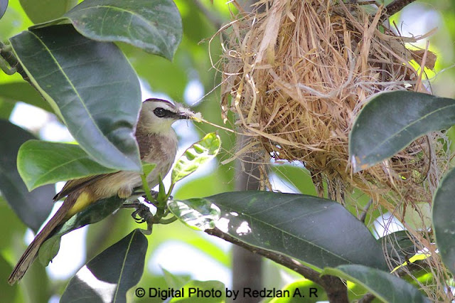 Yellow-vented Bulbul recycle nesting material from old Oriole nest