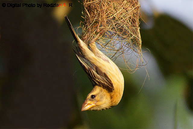Baya Weaver at the nest