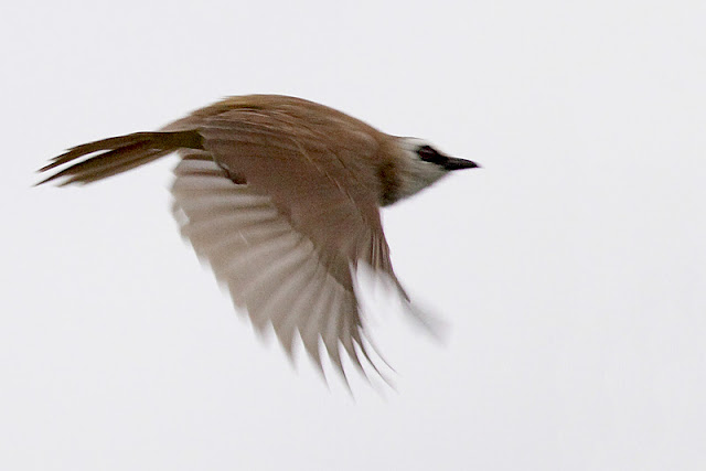 Yellow-vented Bulbul in flight