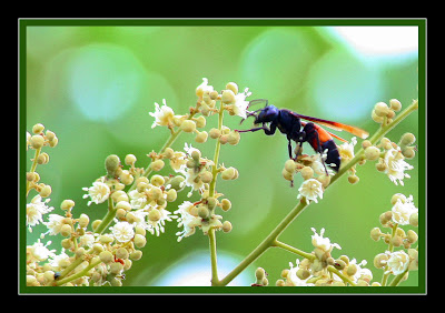 Wasp - Polistes Sagittarius at Longan flowers