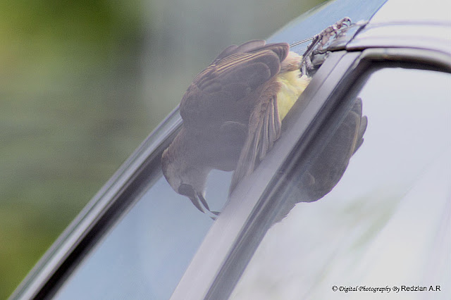 Bulbul and its reflexion