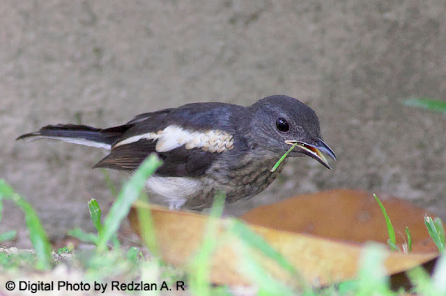 Juvenile Magpie Robin in Training