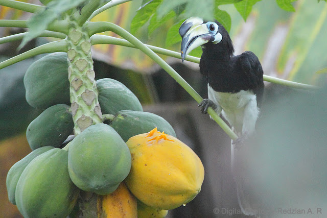 Pied Horn bill at Papaya tree