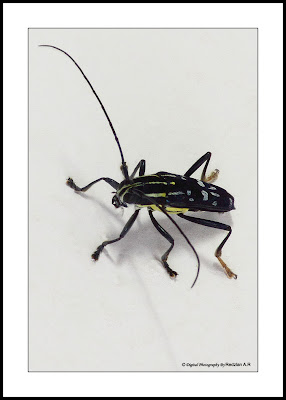Longhorn Beetles