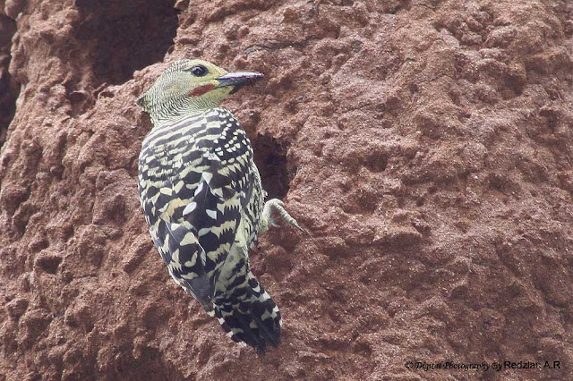 Buff-rumped Woodpecker (Meiglyptes tristis)