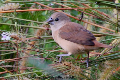 White-headed Munia - Juvenile