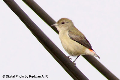 Female Scarlet-backed Flowerpecker