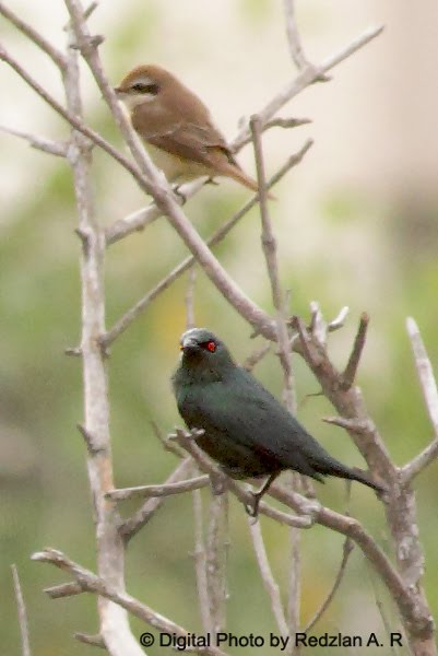 Glossy Starling and Brown Shrike