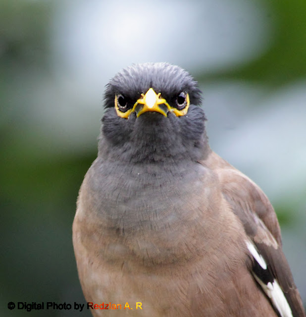 Common Myna Penetrative Vision