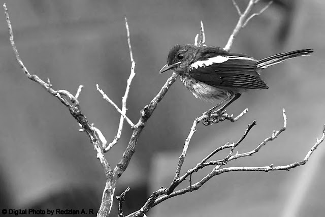 JUVenile Oriental Magpie Robin in Black and white