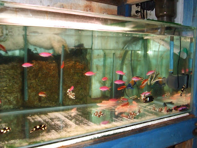 So Typi Y This Is How The Fish Is Sold A Variety Is Housed In Medium Sized Gltanks Many Are Overcrowded But Again The Reshops Sell A Lot Of