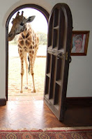 A Rothschild giraffe at Giraffe Manor, Nairobi, Kenya, sticking its head through the front door of the property