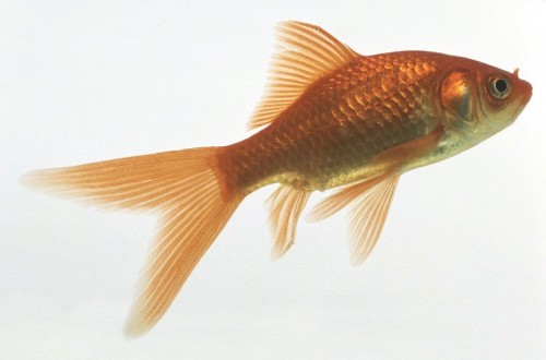 Goldfish Science Projects