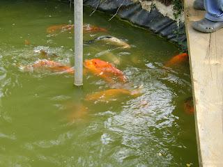 Peces ornamentales koi for Cria de peces ornamentales