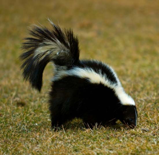 Blue is Bleu: Skunks Are Evil