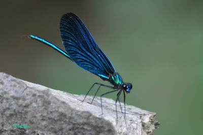 Calopteryx virgo - male