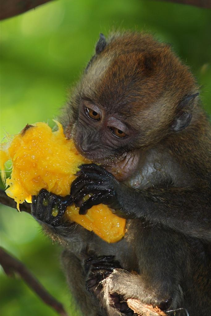 Apina Lemmikkinä