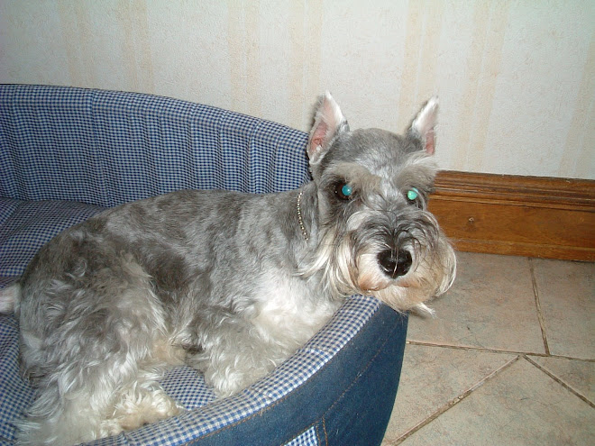 """Pounder""- the Mini Schnauzer"