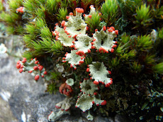 Cladonia diversa found Nr. Higher Ormerods, Calf Hey