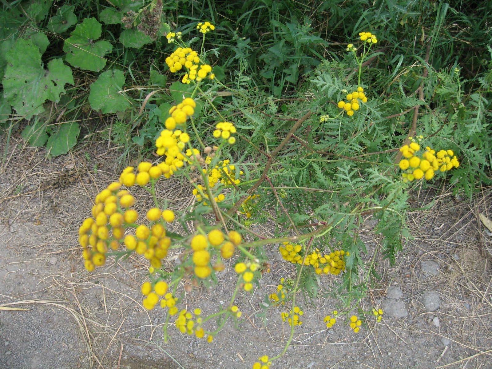 Ehető vadnövények - Gyomnövényes sárga