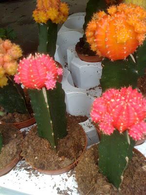 Amsterdam Flower Market, cacti, cactus, grafted cactus