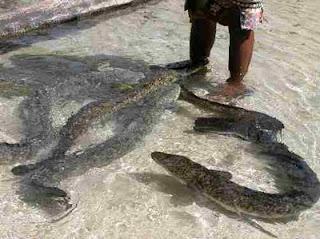 eel 10 Migrasi Hewan paling Unik di Dunia