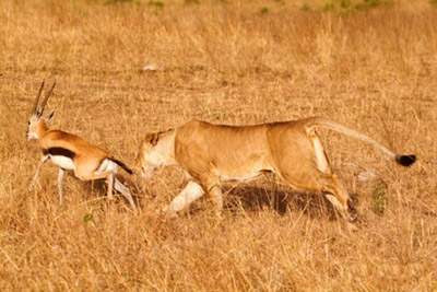 Animals Zoo Park: Lion - Deer Hunting Pics, Hunting Photos