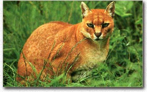 Tulahan 8 Spesis Kucing Hutan Yang Mempesonakan