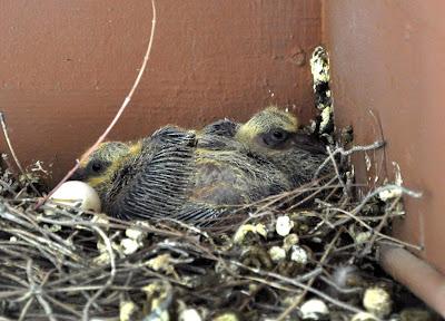 Pidgeon nest