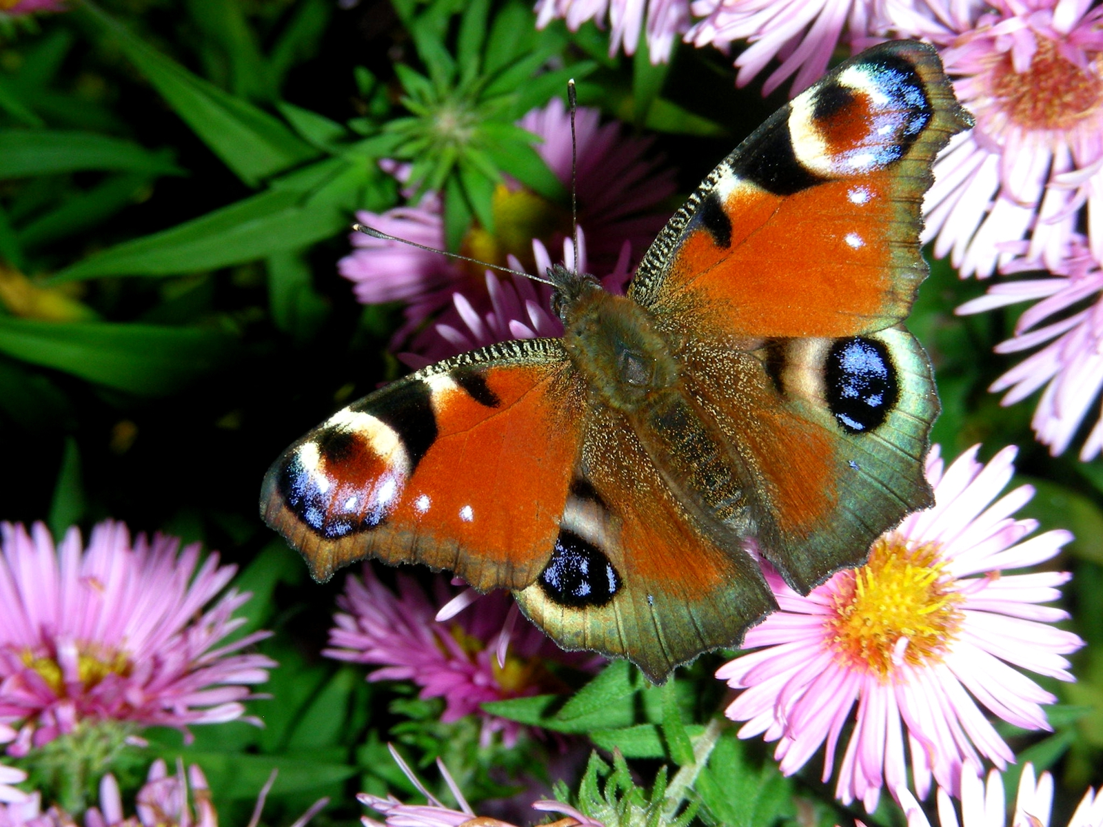 High Definition Colorful Butterfly Free Wallpapers High