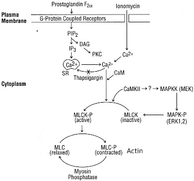 Effect of Miotic/Mydriatic Agents on Eye and Molecular Mechanism