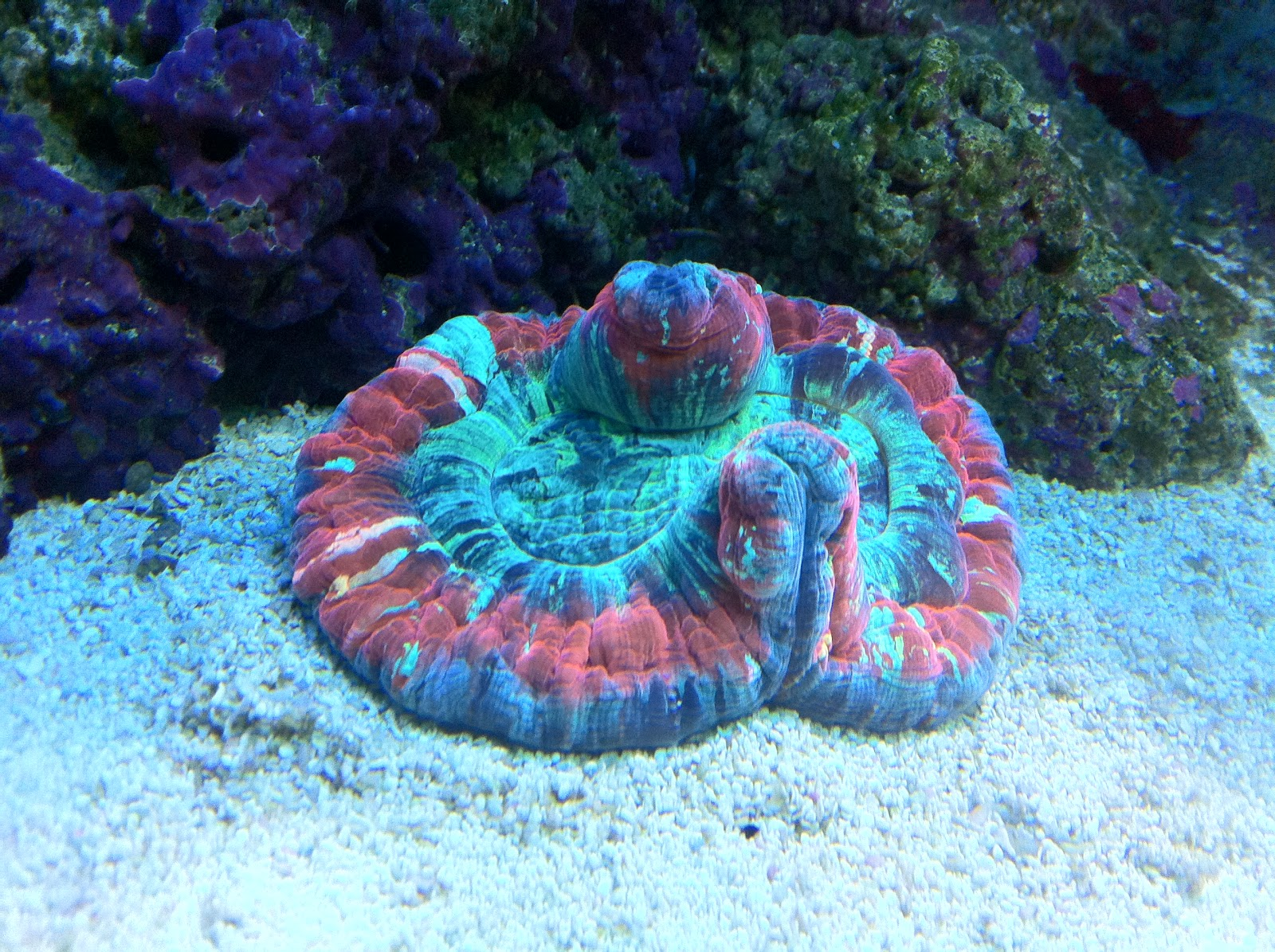 I Don't Do Mornings!: WELSOPHYLIA BRAIN CORAL-XMAS PRESENT ...