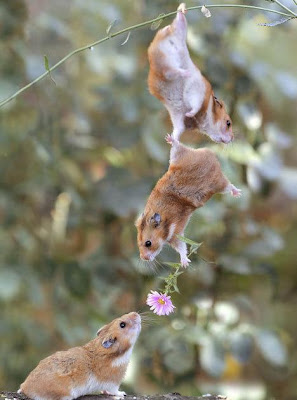 rat with help of another rat giving flower to his friene