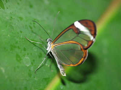 Glasswing+butterfly+3.jpg