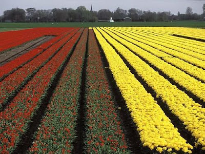 Spectacular Display Of Color - Tulip Fields (11) 9