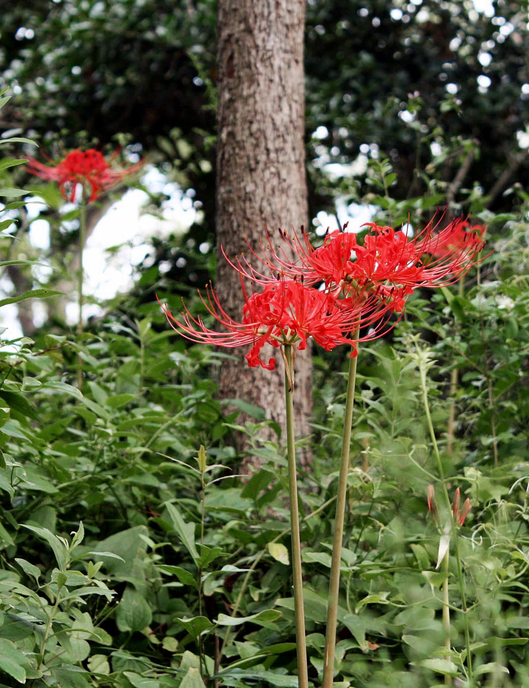 Southern Lagniappe When The Spider Lilies Bloom In Dixie
