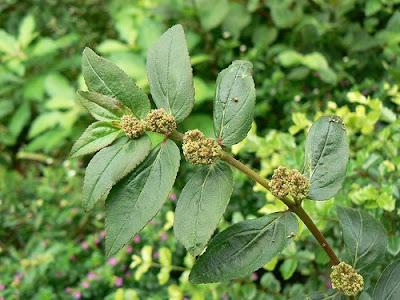 asthma weed, bebefits of tawa-tawa, Euphorbia hirta, gatas-gatas, healing galing products, tawa-tawa, tawa-tawa tonic,