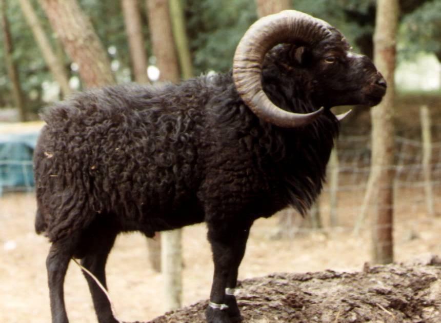 ouessant notre passion groupement des eleveurs de moutons d 39 ouessant. Black Bedroom Furniture Sets. Home Design Ideas