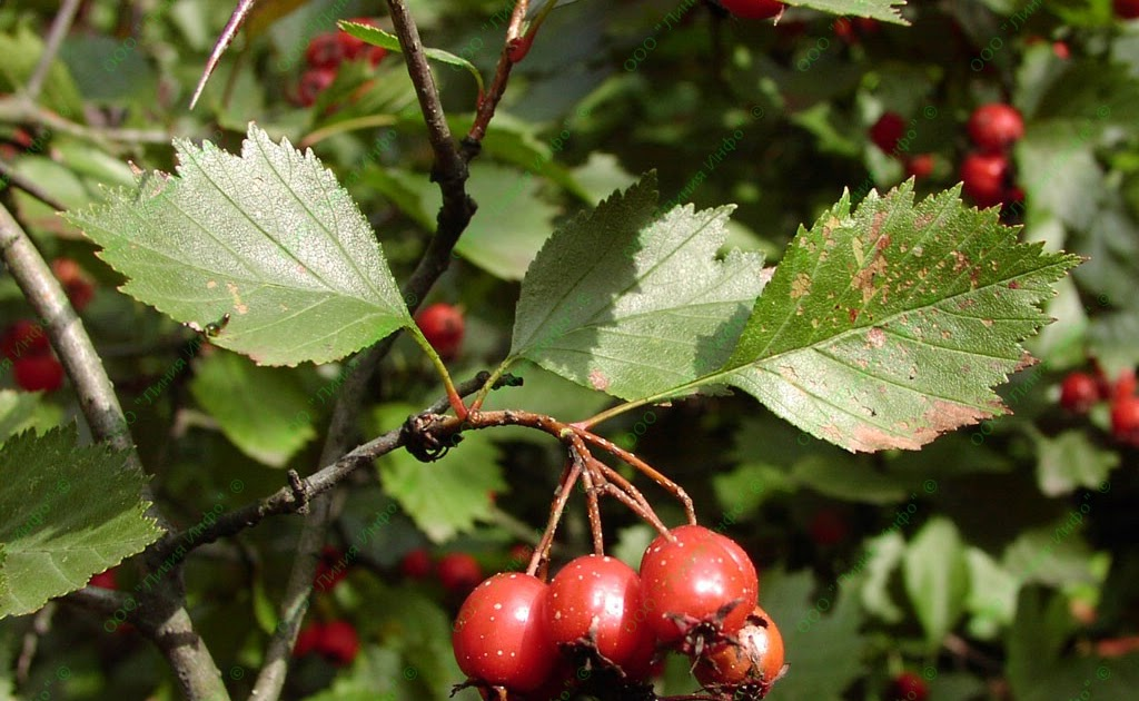 Herbal remedies: 13  Hawthorn - the best remedy for any