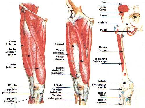 Image result for musculos de la rotula