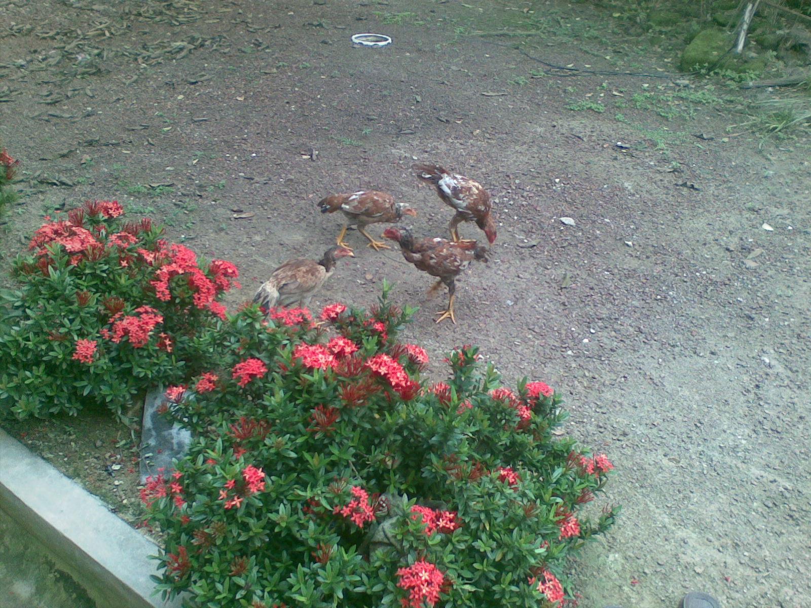 Ayam Siam Ayam Sabung Untuk Di Jual Anak Ayam Siam Ayam Sabung