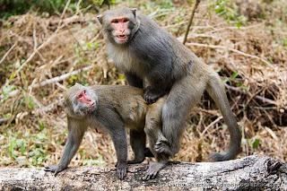 Monos follando.