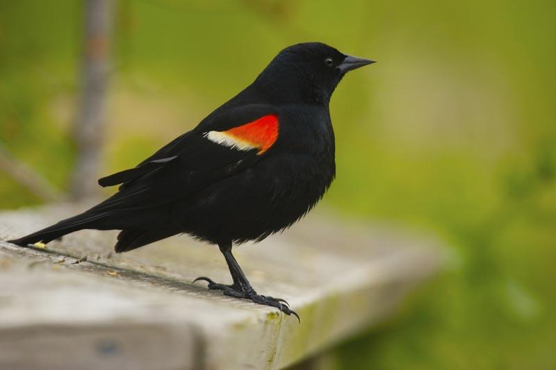 Black Bird With Orange Spots On Wings 5