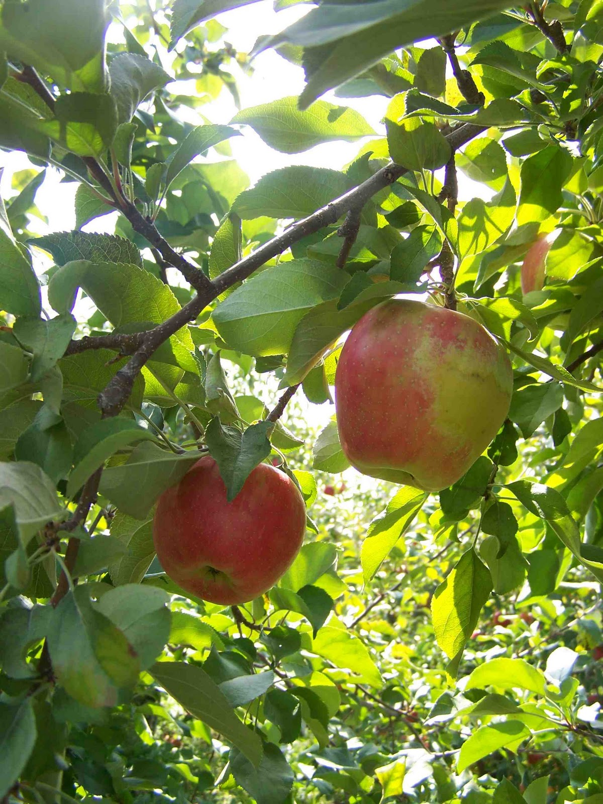 Canadian Strawberry Apple Tree | Apples | Pinterest ...