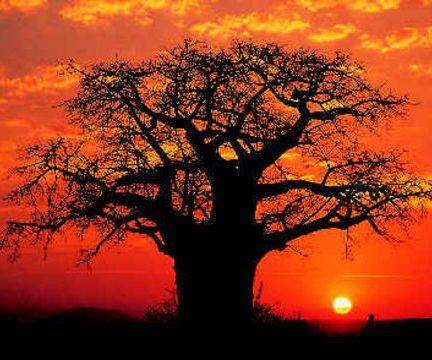 [Image: africa-kruger-park-baobab-tree-in-sunset-large1.jpg]