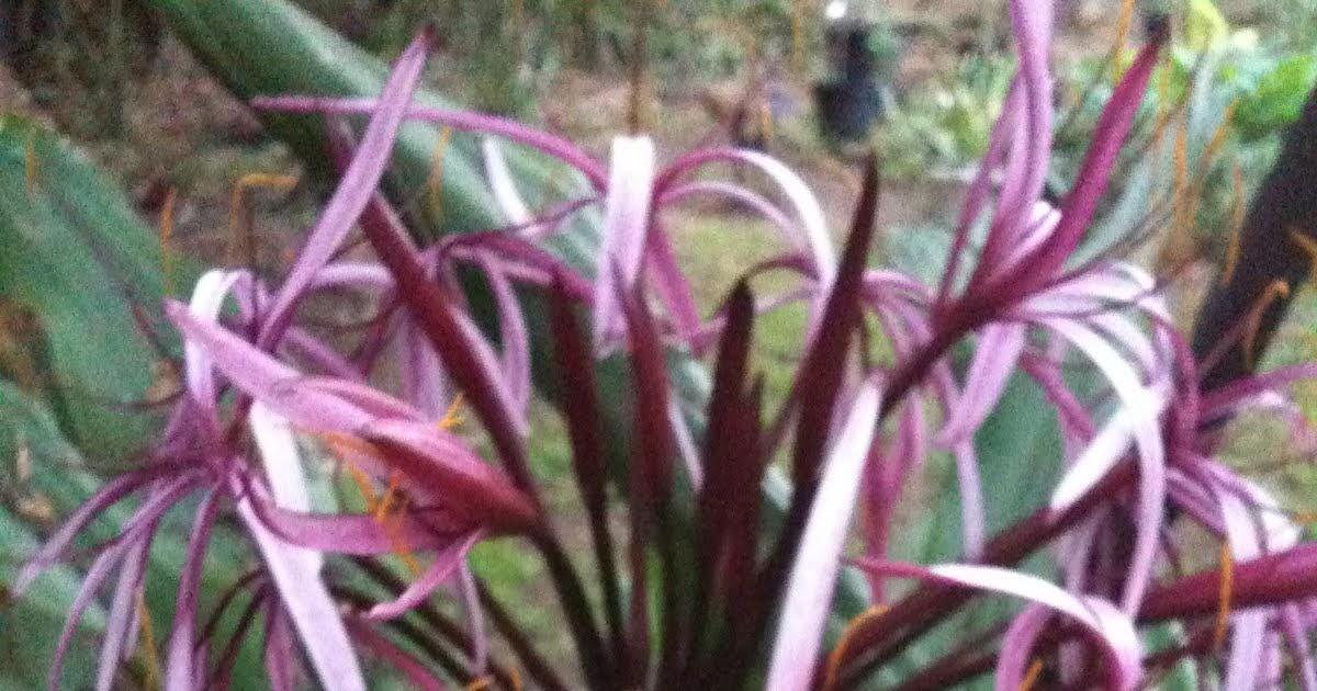 Kind Hearts Are A Garden Crinum Amabile Giant Purple