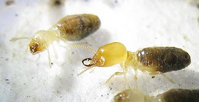 Lateral view of of a soldier and worker of Amitermes dentatus