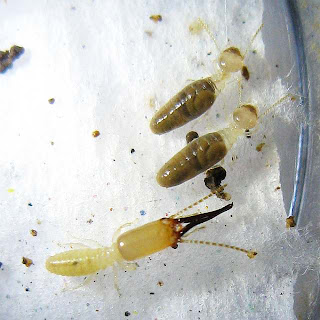 Soldier and workers of Procapritermes setiger subspecies 2