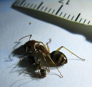 Major worker and minor worker of Camponotus maculatus pallidus